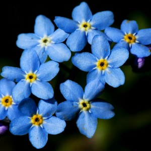 Forget-Me-Not (c) Scottish Wildlife Trust