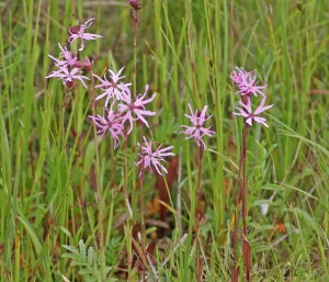 Ragged Robin (c) Scottish WIldlife Trust