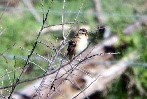 Sedge warbler - seen by the Shelduck Hide (c) Andy Wakelin
