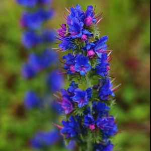 Viper's Bugloss (c) Scottish Wildlife Trust