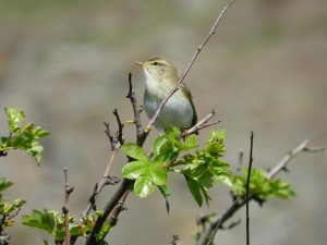 Willow Warbler SWT (2)