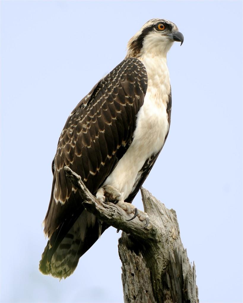 Juvenile Osprey, Manasquan New Jersey