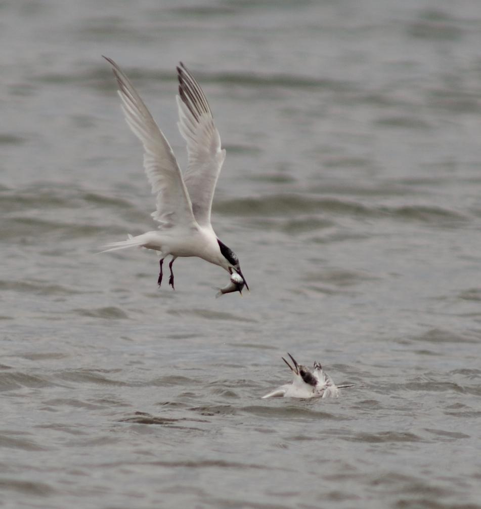 Sandwich Terns feeding