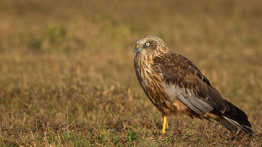 Marsh Harrier © Sumeet Moghe