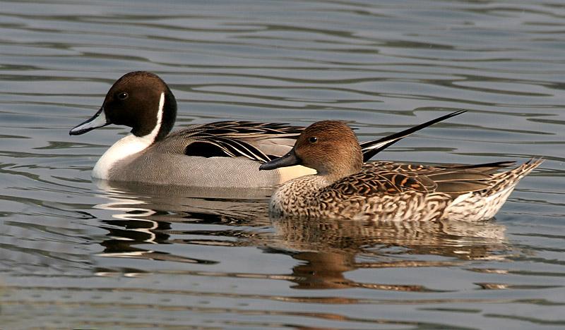 A pair of Pintail ducks © J. M. Garg