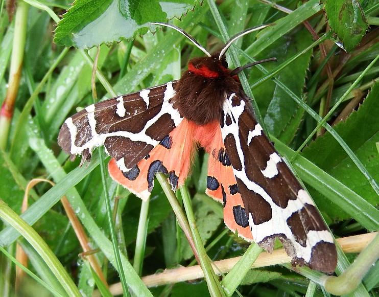 A Garden Tiger moth. © Andy Wakelin