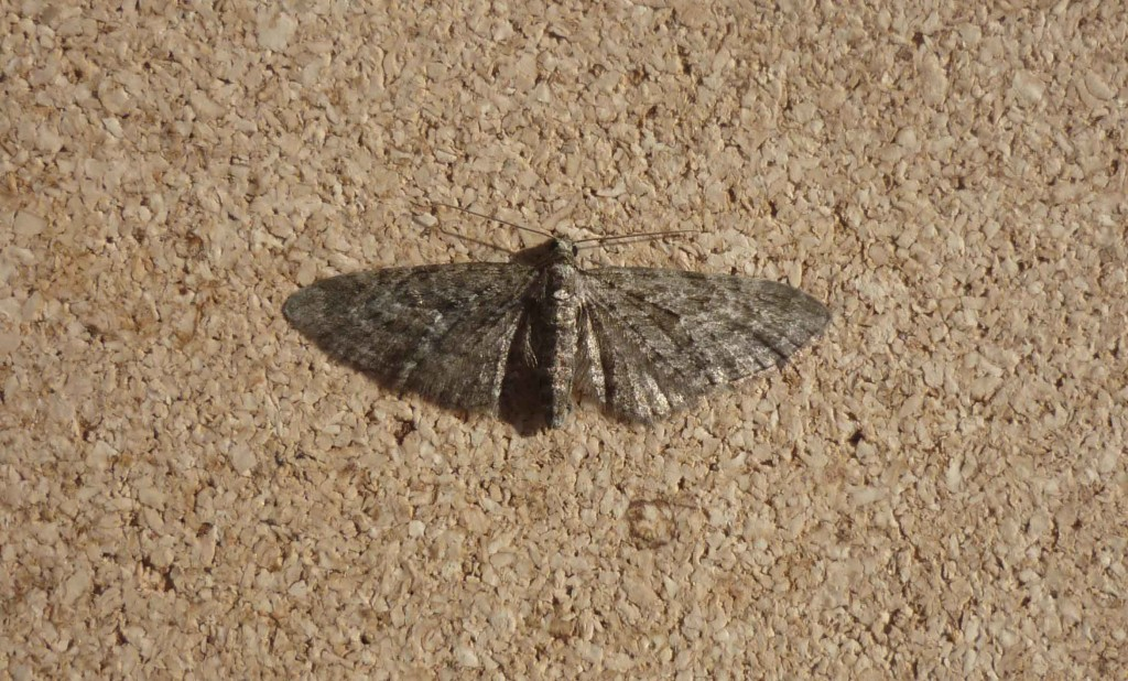 The Larch Pug micro-moth, a newly-confirmed sighting at Montrose Basin. © Paul Brookes