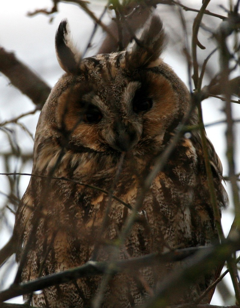 Long Eared Owl 1-p19v3fafe31k4f367872doe118f
