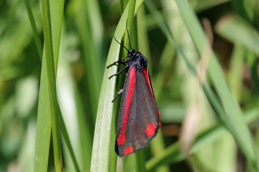 A day-flying Cinnabar moth. © Charles Sharp