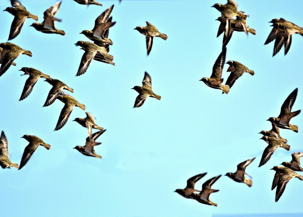 Golden Plover flight