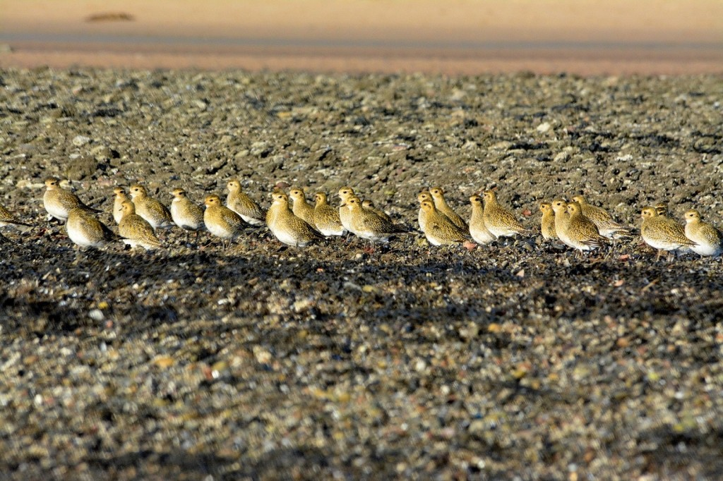 Golden Plover flock