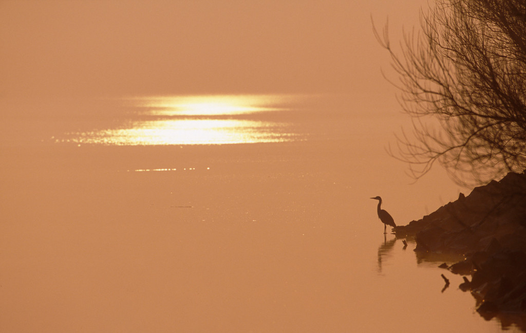 Heron at sunrise NB LIM SWT