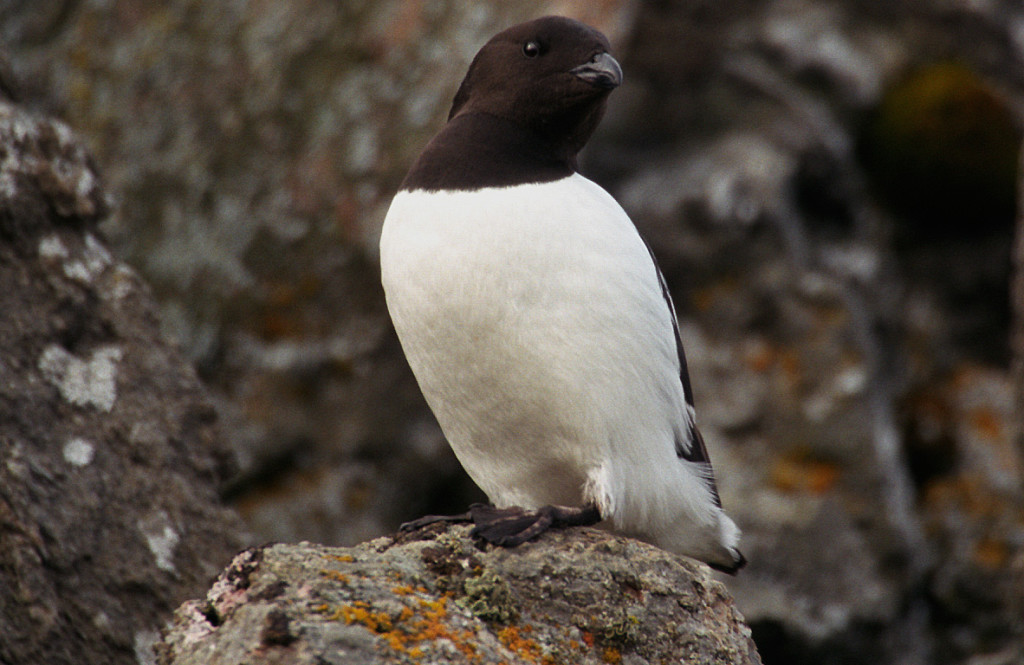 Little Auk (c) WikiComms