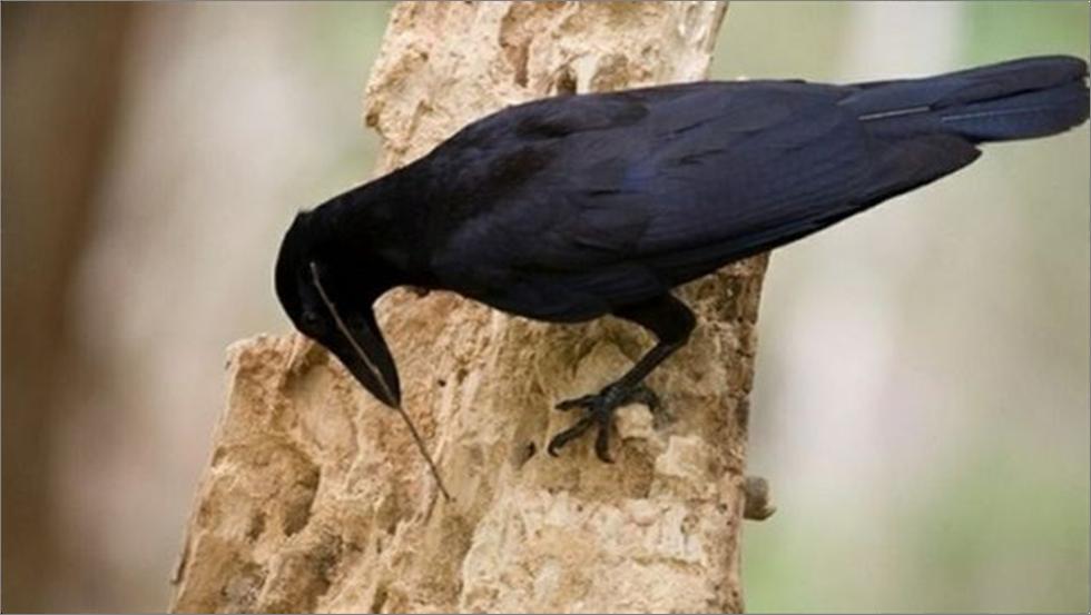 Caledonia crow