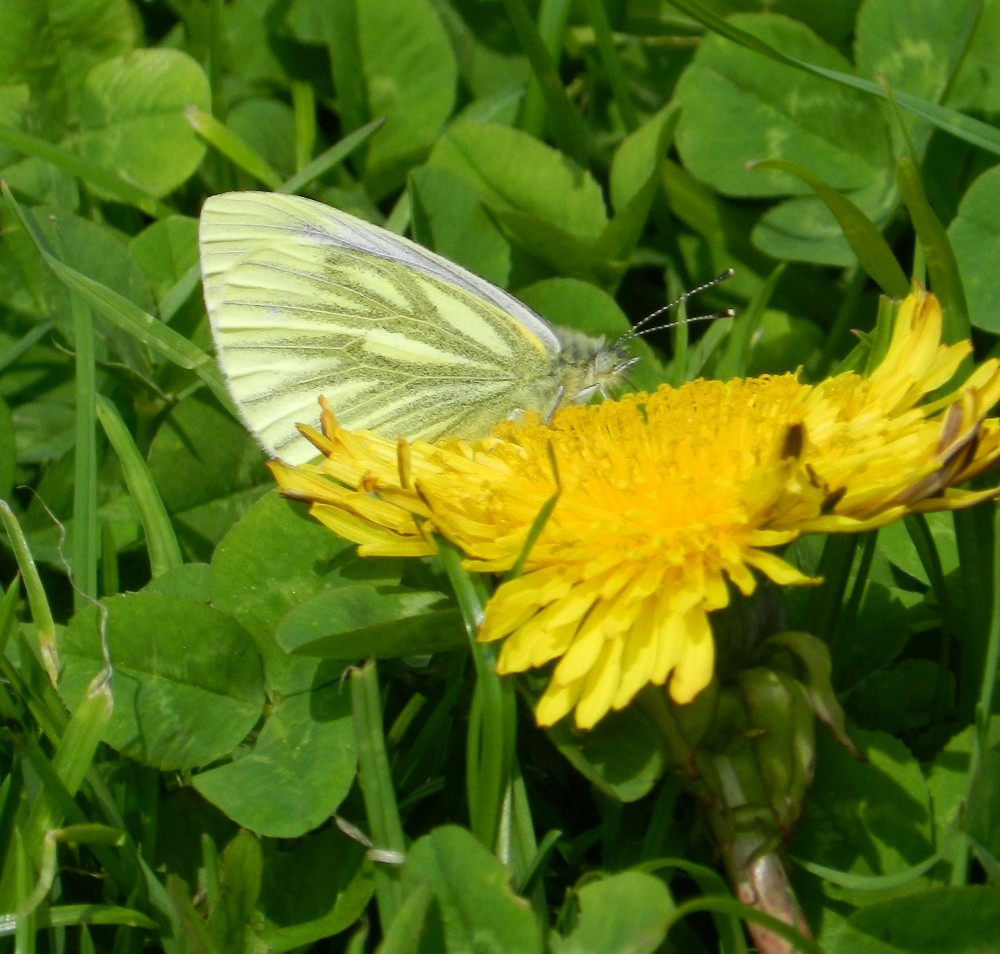 F Green-veined White butterfly