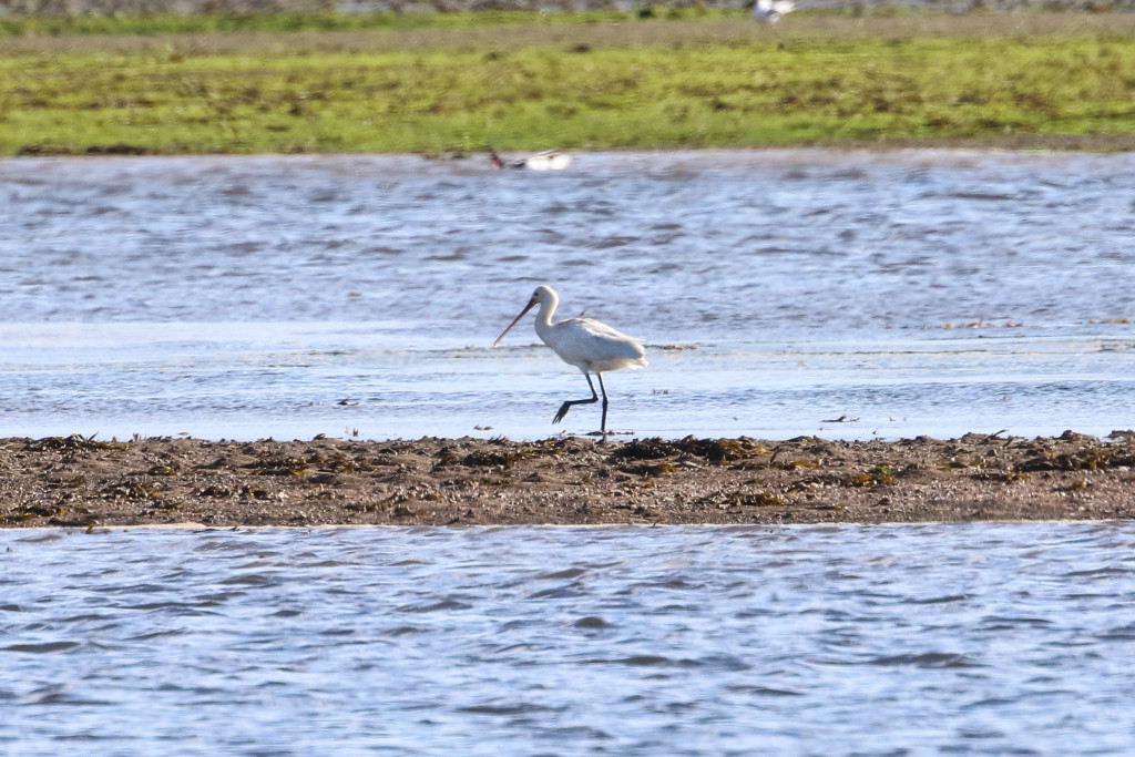 2016 Spoonbill - Maryton Ditch - 4