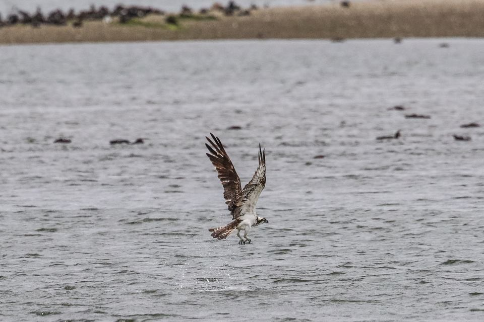Osprey on the Basin © Ron Mitchell