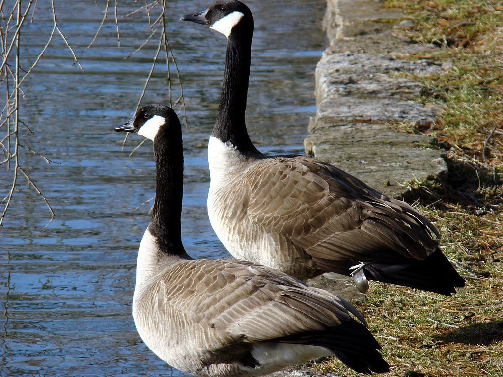 Canada Geese ©WikiComms