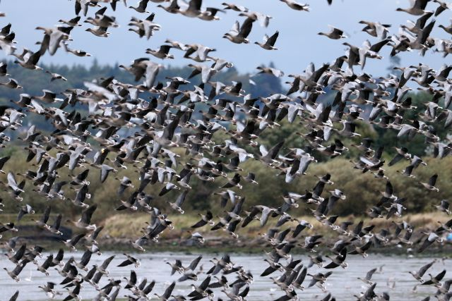 2016-pink-footed-geese-tayock-28-september-first-big-numbers-181