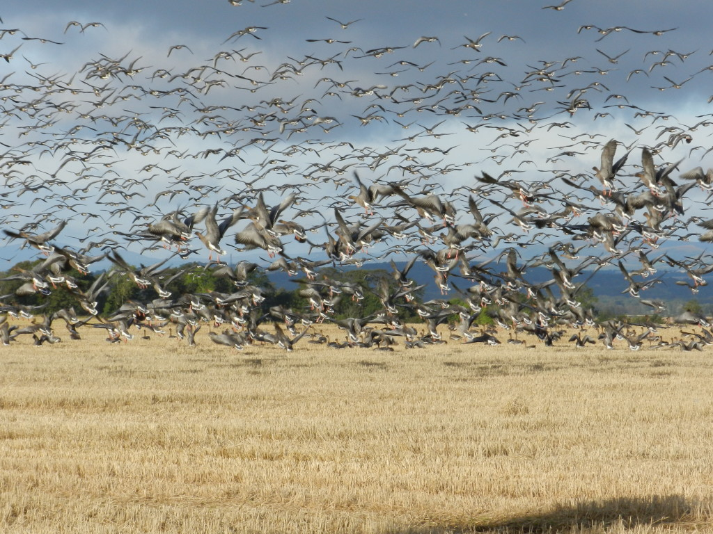 pink-footed-geese-harry-bickerstaff-215