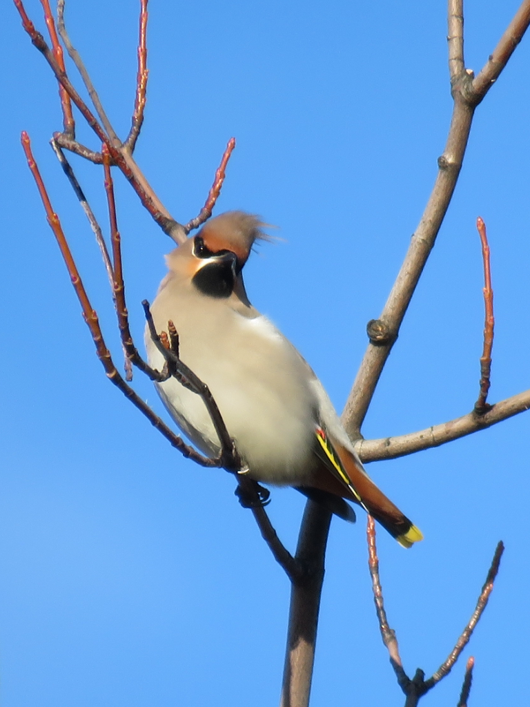 waxwing-montrose