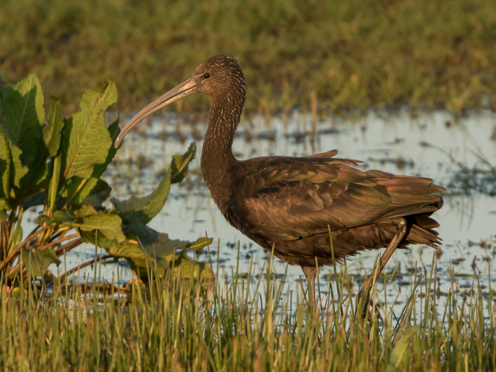 Glossy Ibis - ©Neil Black