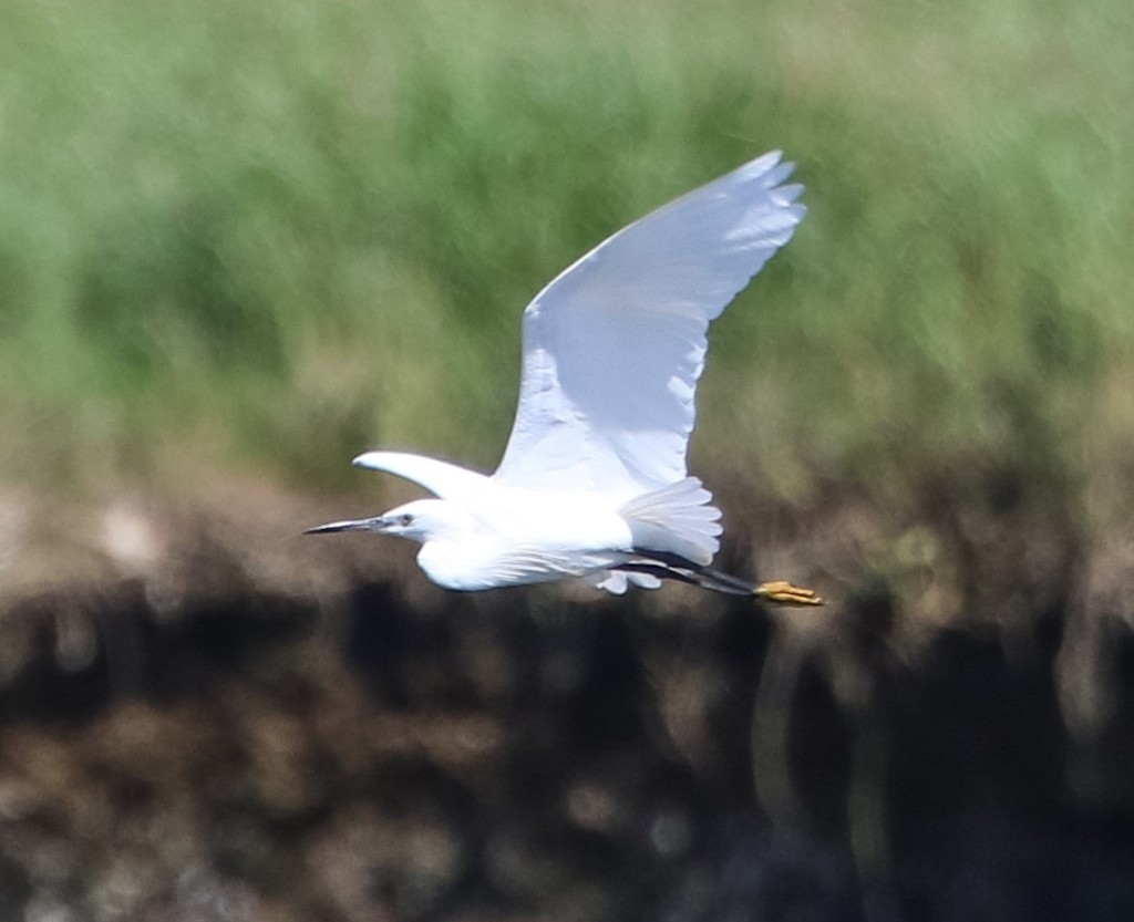 Little egret - ©Ron Mitchell