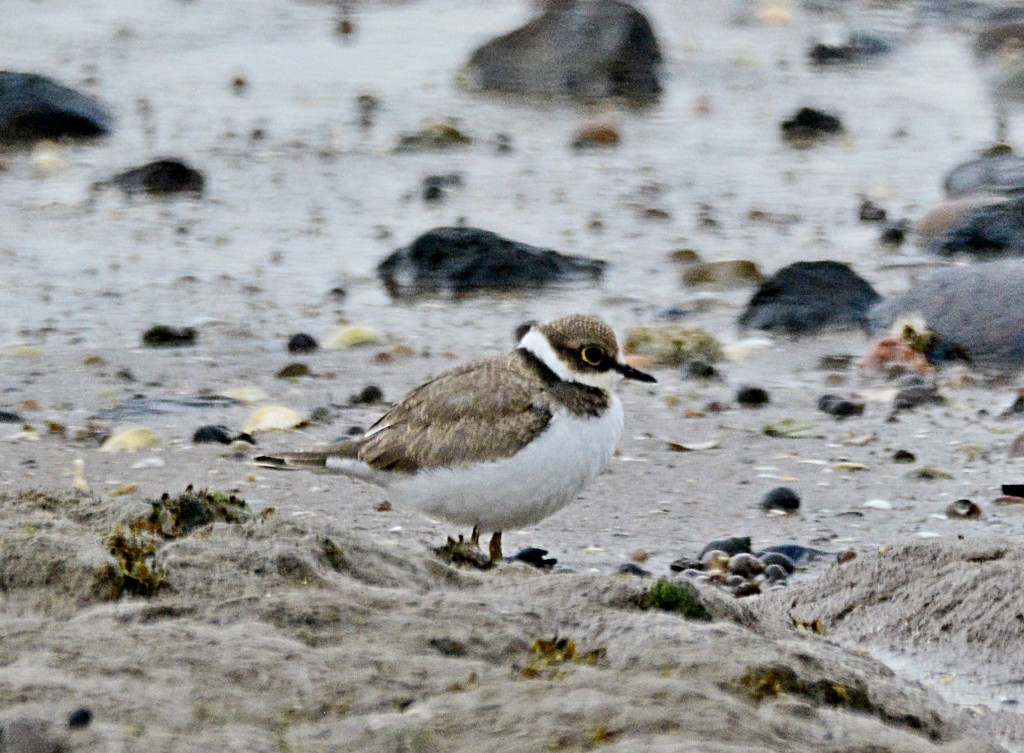 Little ringer plover