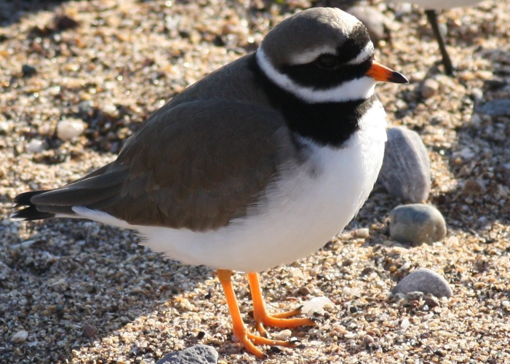 Ringed plover - ©Richard Blackburn