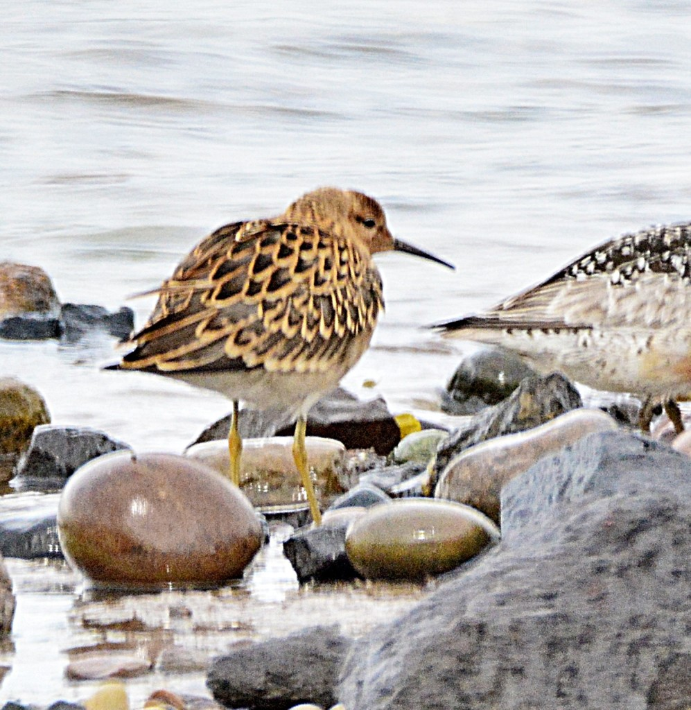 Ruff - ©Harry Bickerstaff